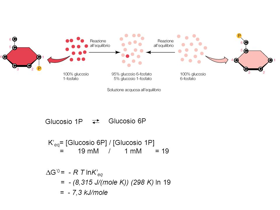 Glucosio 1P Glucosio 6P. K'eq= [Glucosio 6P] / [Glucosio 1P] = 19 mM / 1 mM = 19.